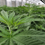 With growing operations sprouting up across the state, Utah could soon see a hemp boom