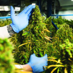 Cannabis companies say they are growing enough pot, they just can't deliver it