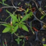 Canada's first nursery license marks 'key point' in cannabis industry's development